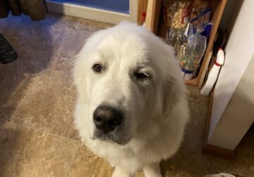 White Male Great Pyrenees