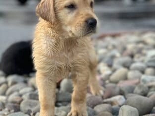 Goldador Puppies available now!!!