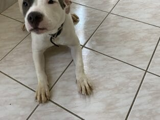 Pit bull blue nose 5 months old