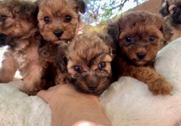 Gorgeous Red Maltipoo Puppies