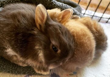 Baby dwarf otter bunnies available June 10