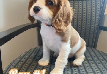 Cavalier King Charles puppies!