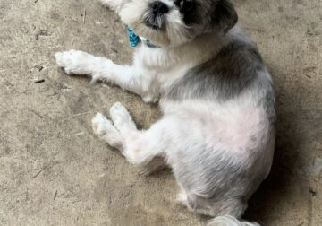Loving and playful Shih Tzu for sale