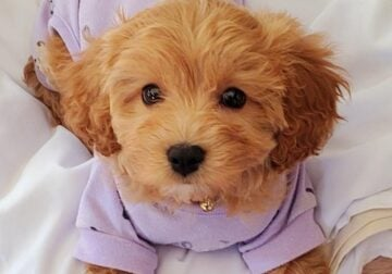 Beautiful Puppy Cavapoo for sale