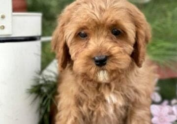 Cavapoo for Sale NYC