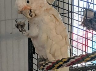 Tame sweet Goffin Cockatoo