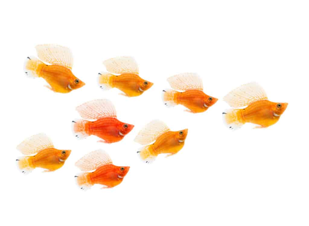 Molly Freshwater Fishes