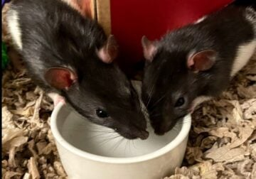 Two Rats and Supplies for 4 Months