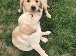Purebred Lab puppies for sale