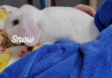 Pure Holland Lop: Most Beautiful Snow