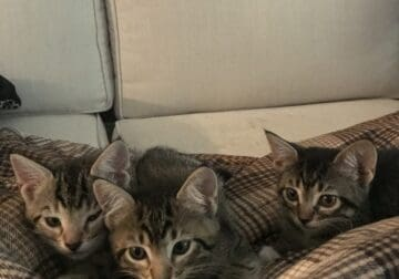 6 week old tabby kittens for adoption