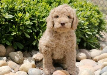 Multigenerational Labradoodle Puppy 'Lime Green'