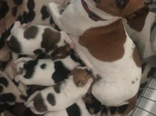 Gorgeous Jack Russell Puppies for Sale
