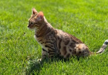 11 month old purebred bengal kitten