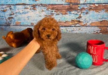Poodle Toy Female