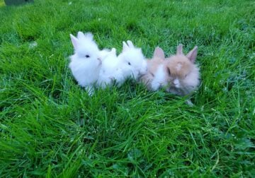Lionhead/Jersey wooly buns ready for adoption!