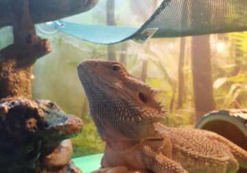 Bearded dragon (3 yrs old female) with everything