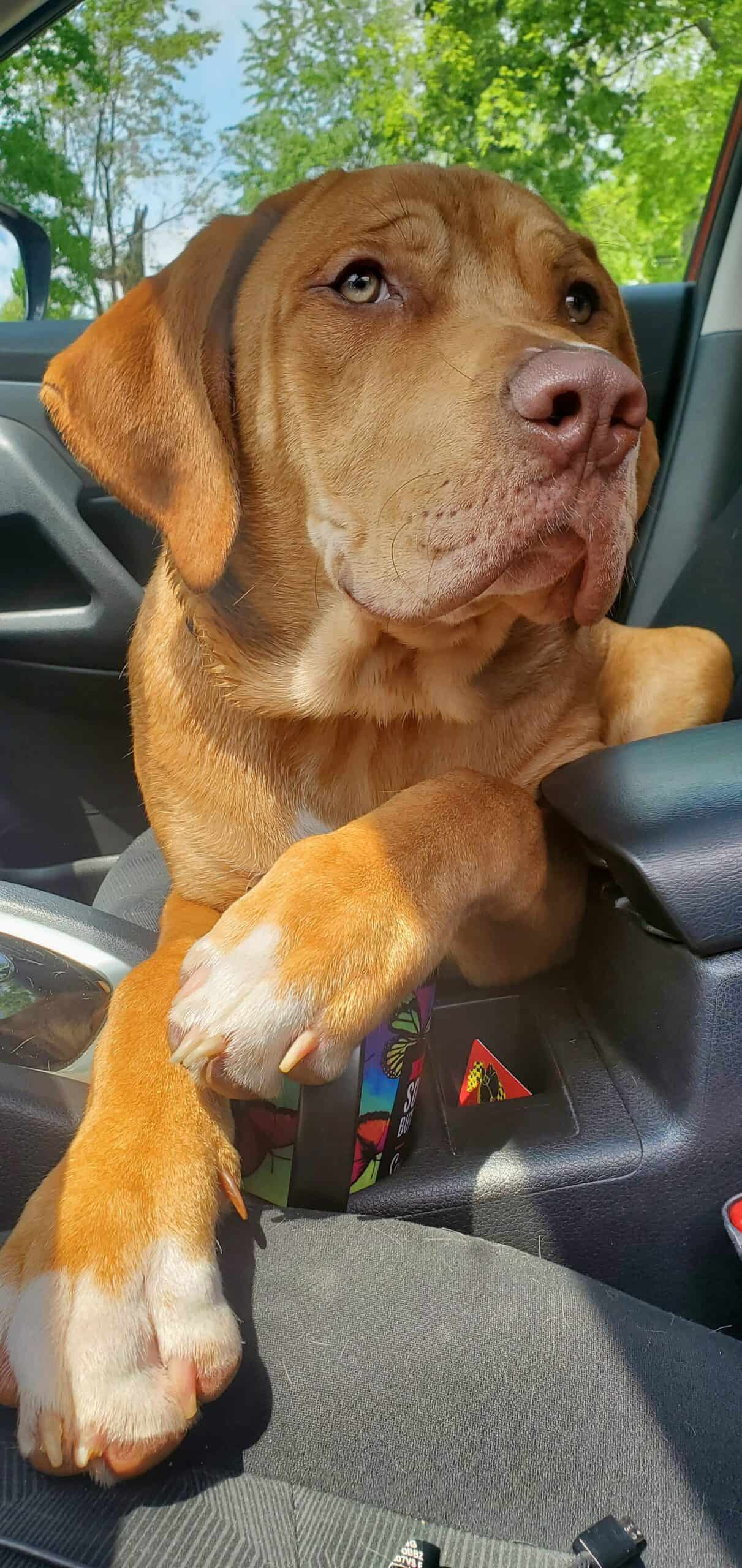 Rehoming 10 month old Mastiff/Pit
