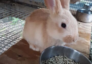 New Zealand Red Bunny Rabbit for sale