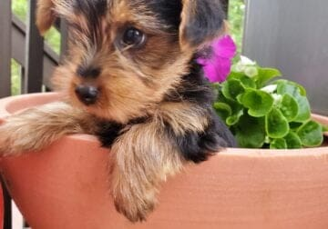 Yorkie Male CKC documents 3 Months Old