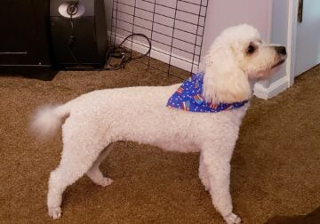 Need to re-home our Miniature Poodle