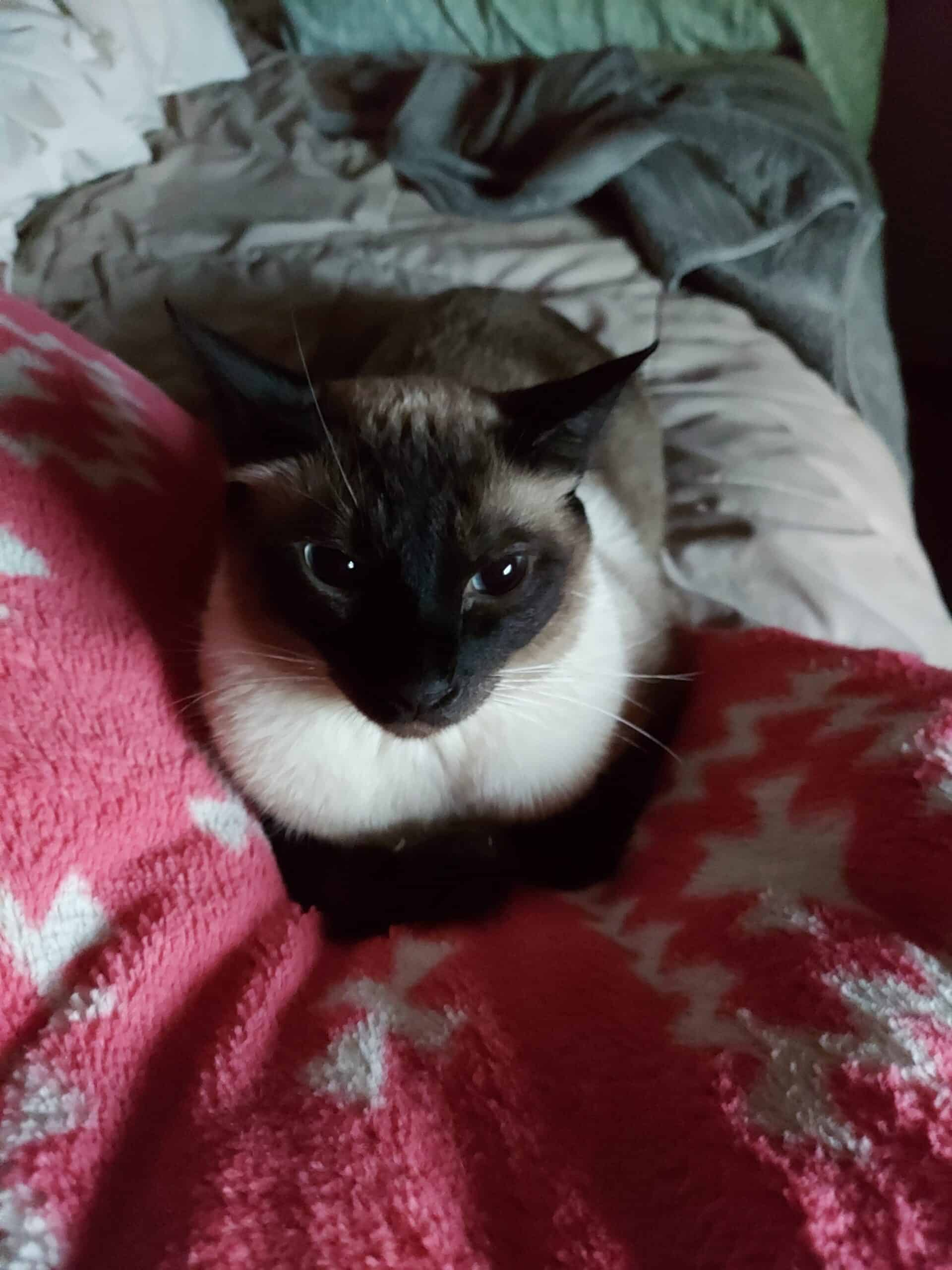 1.5 year old neutered male Siamese