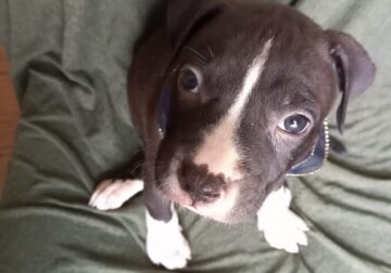 Rico The pit/bully mix