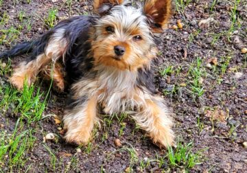 Yorkie Male 3 Months Old