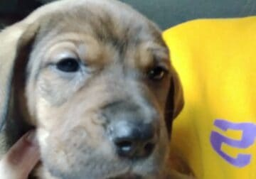 6 week old Black Mouth Cur mix puppies