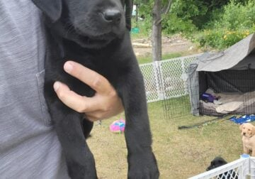 2 Black Lab Puppies Available