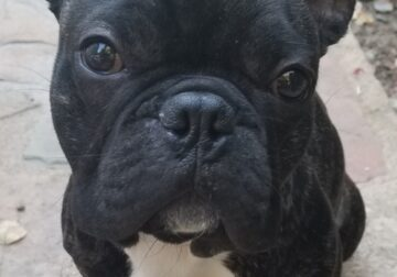 Looking to rehome our French Bulldog