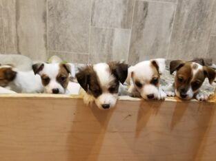 Jack Russells Puppies for sale