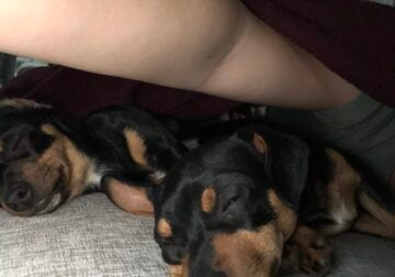 Min pin puppies 8months old