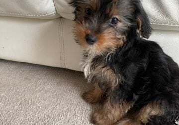 Havashire Puppy for sale . Very cute 7 week old.