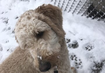 3Year Old Male Goldendoodle