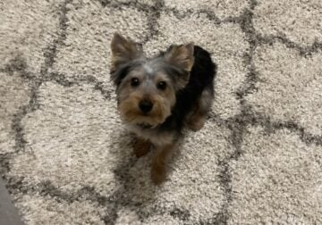 6month old male Yorkie