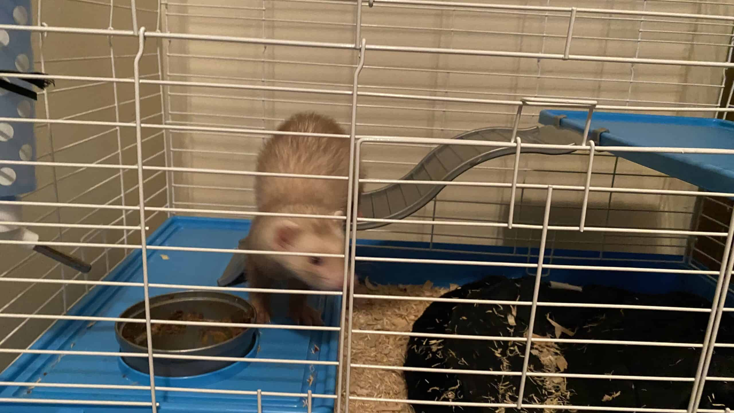 Ferret for sale & cage