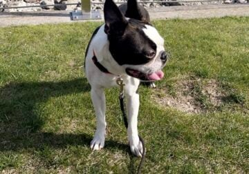 1 year old house trained Boston terrier