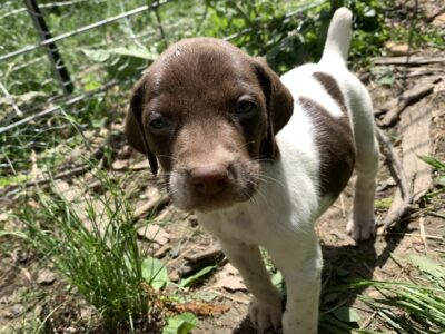 German Shorthaired Pointer Puppy Ready 6/19