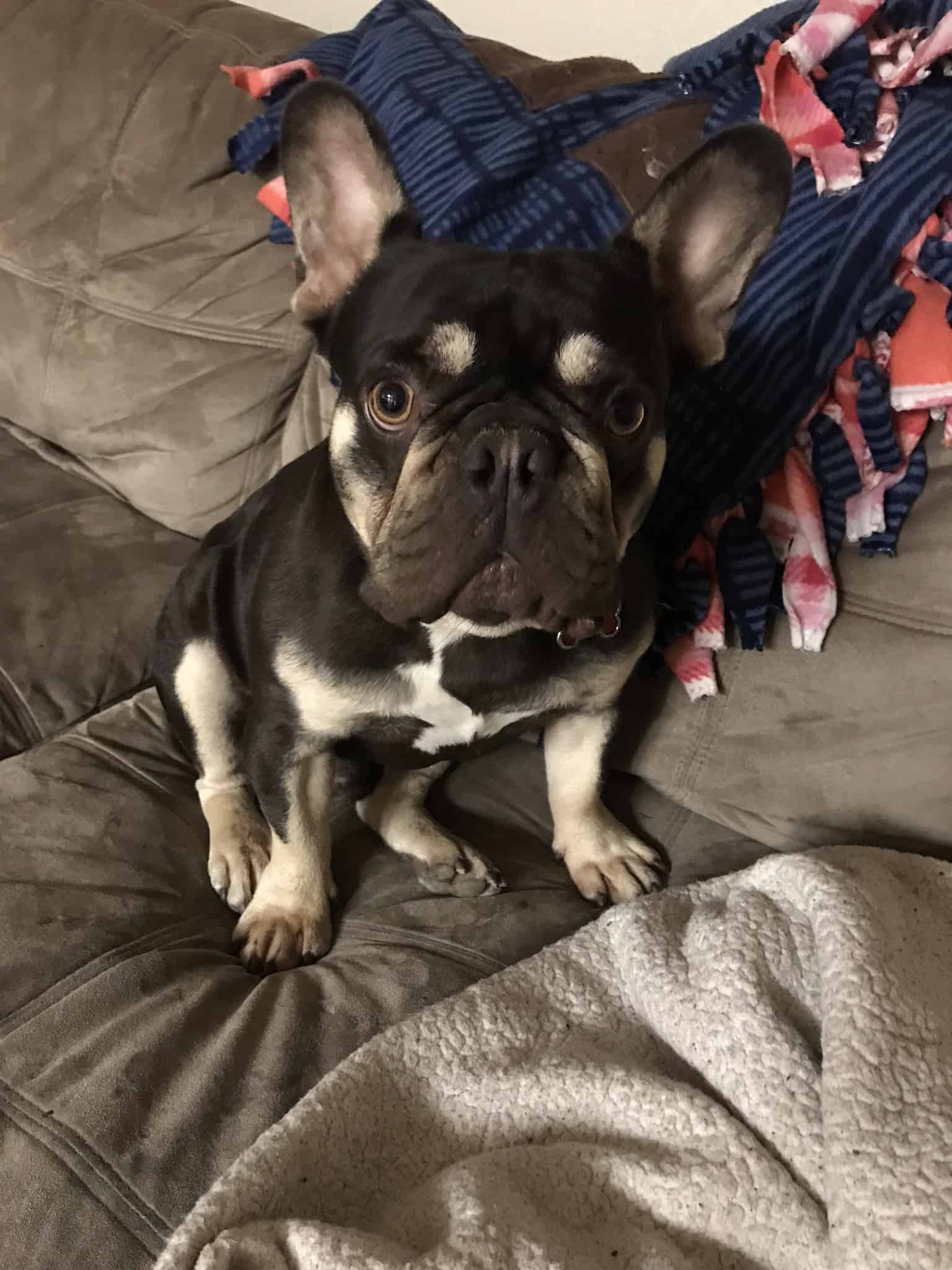 French Bull Dog 4 years old