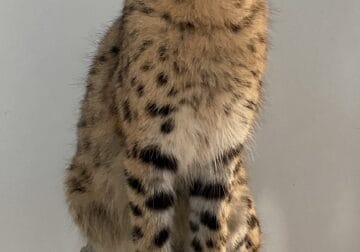 Serval and caracal