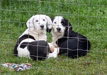 Two sweet sisters Old Eng. sheepdog x Basset hound