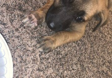 Puppy for sale in Beaumont, Texas