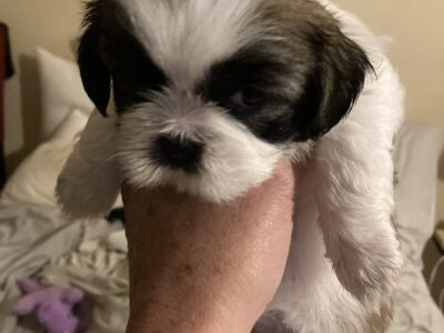 SHIH TZUS PUREBRED PUPPIES FEMALES AND MALES ❤️❤️