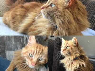 Two Beautiful Orange Male Tabby's *Brothers!