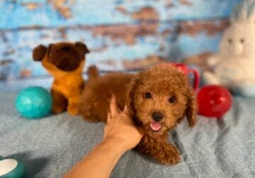 Poodle Toy Male – Phil