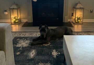 Friendly 13 Month Old Female Cane Corso Puppy