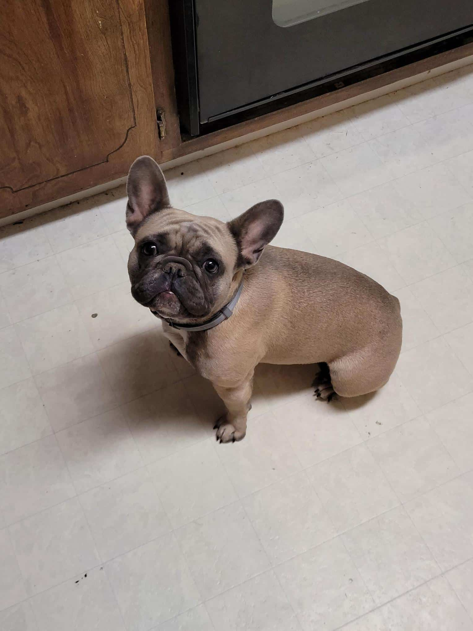 Lucy the French bull dog ( 11mos )