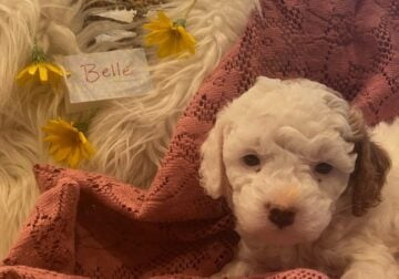 Your puppy is ready to come home 7-2-21!