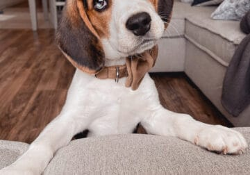 Beagle puppy named Cookie in need of new home
